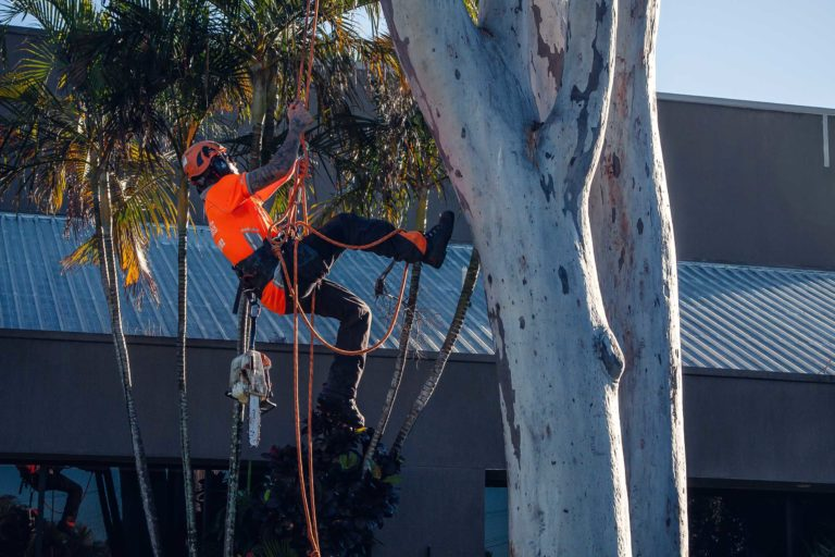 palm tree removal Brownsville